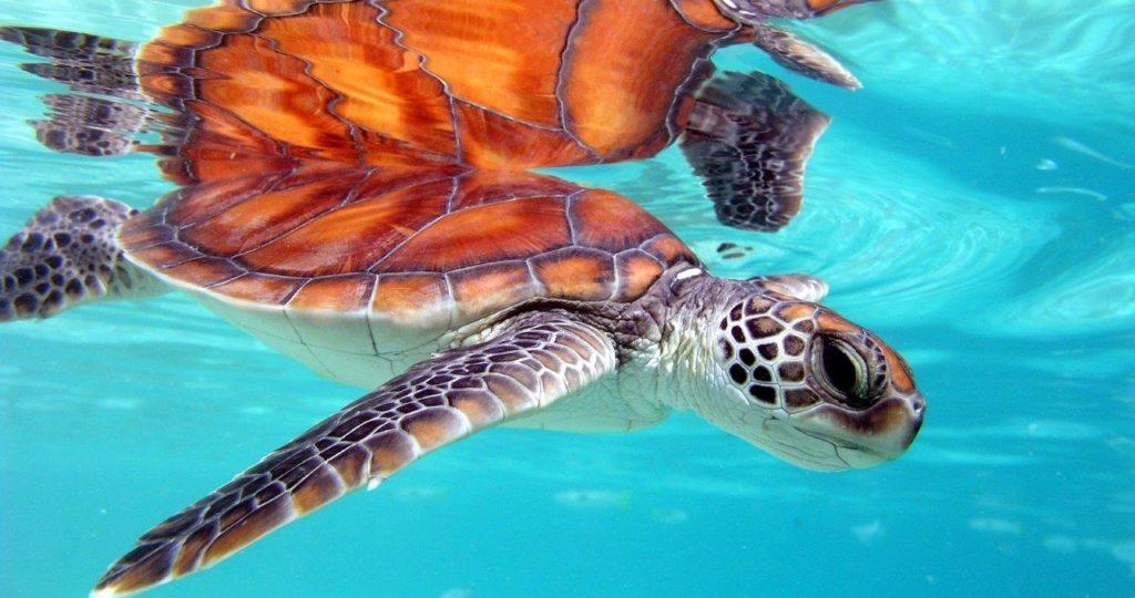 Comprendre, soigner et protéger les tortues marines